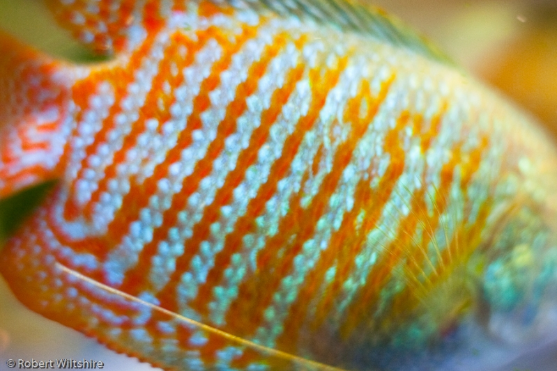 365 - Day 63 - Stripey Gourami
