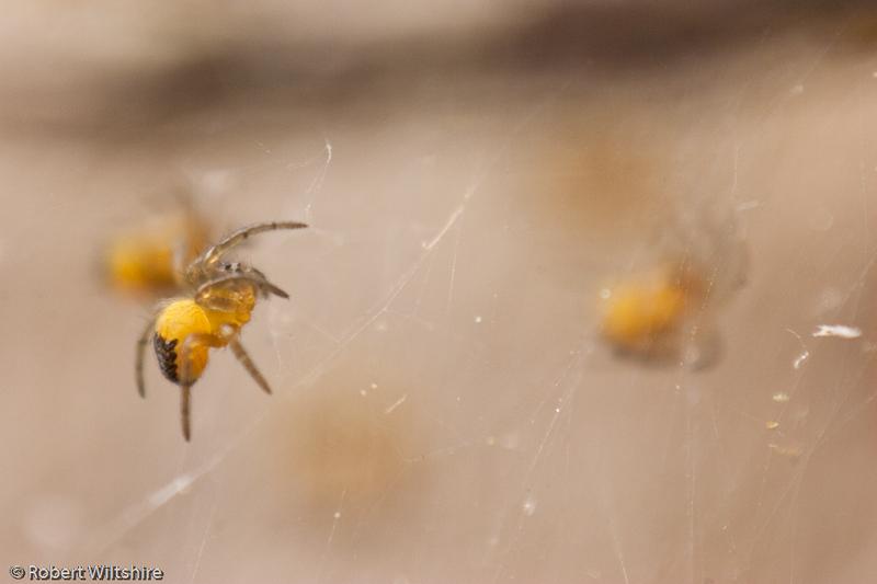 365 - Day 138 - Baby Garden Spiders