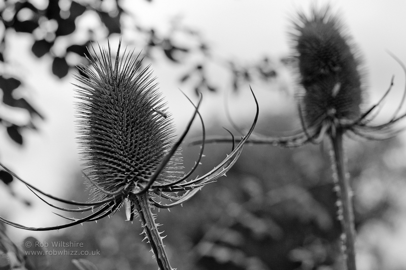 365 - Day 288 - Thistle