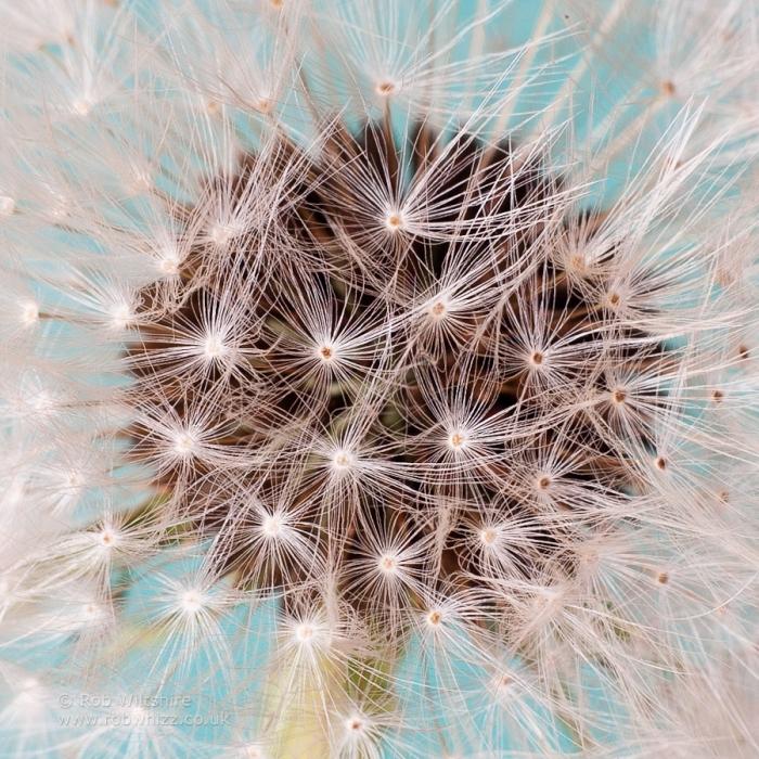 365 - Day 268 - Dandelion